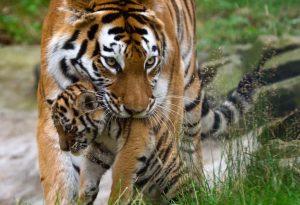 Matka tygrysa niosąca swoje młode