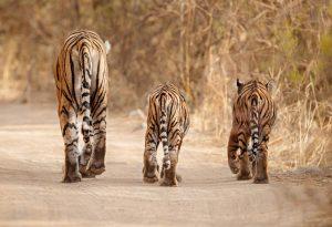 Rodzina tygrysów