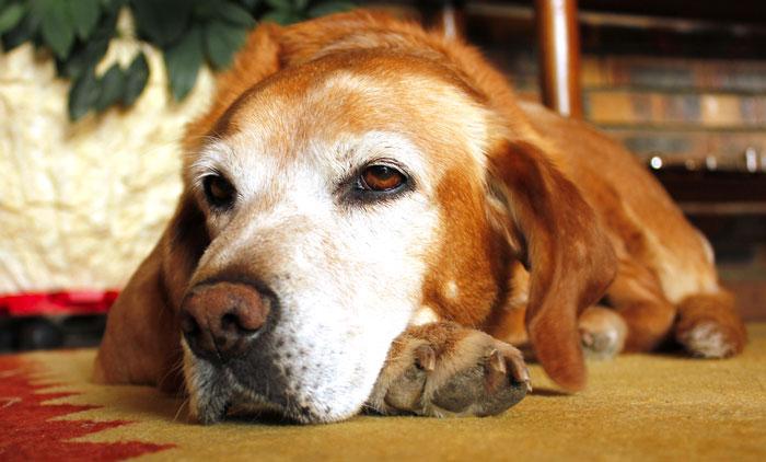 zmęczony stary pies