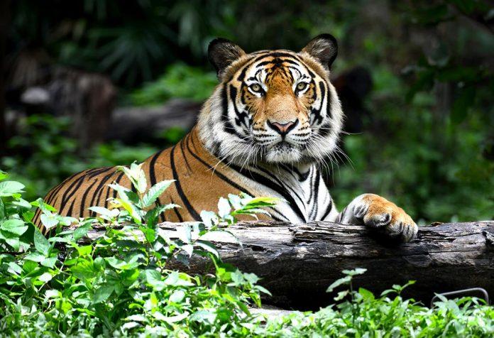 Ciekawe fakty i informacje dotyczące Tygrysów dla dzieci
